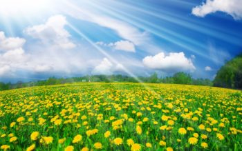 nature_flowers_sunny_dandelions_035648_